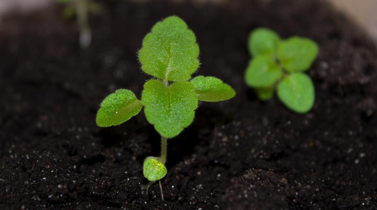Baby Gloxinia Plants in Moist Soil