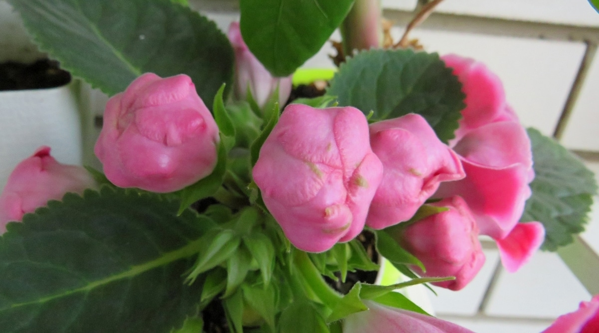 Budding Pink Flowers