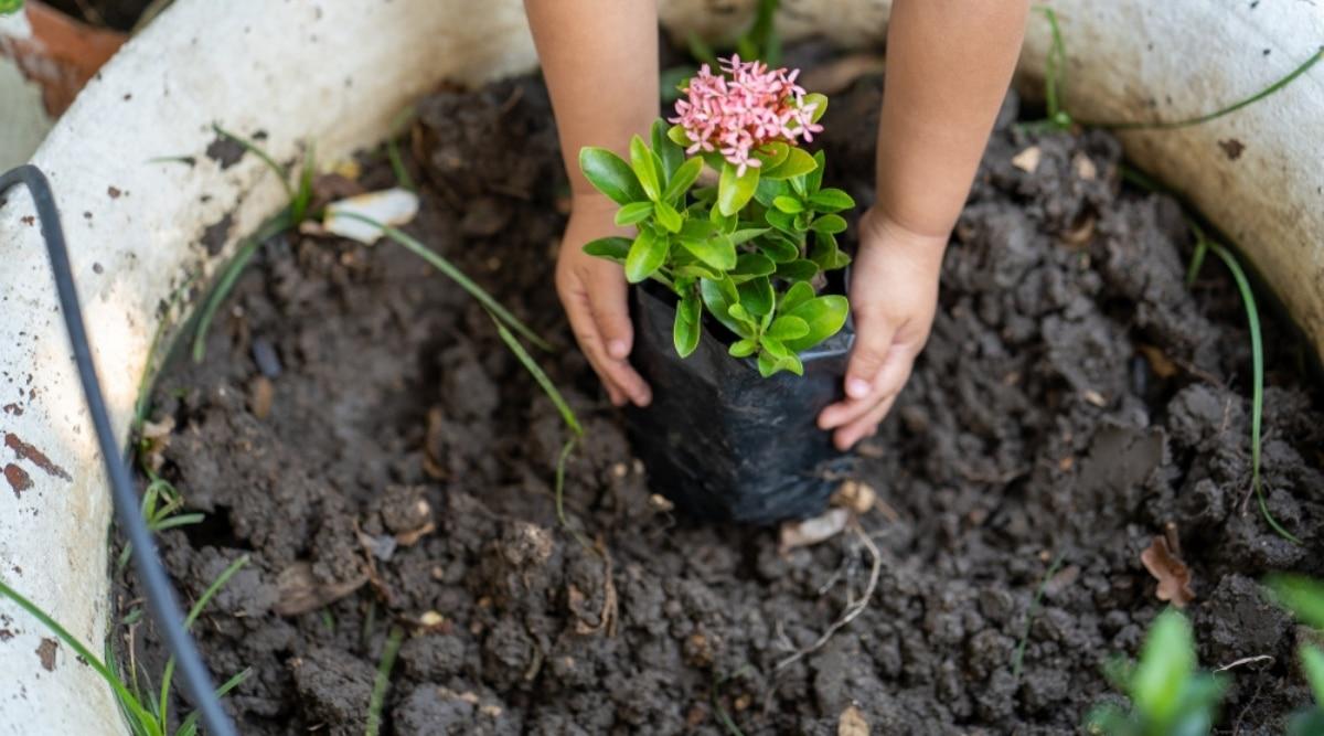 Child Planting Small Bush in Fresh Soil