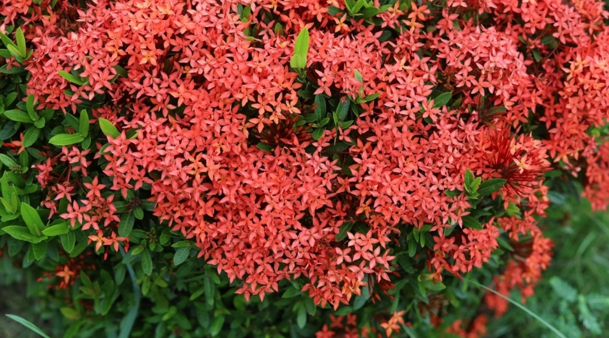 Close Up of Red Flowers of Bush