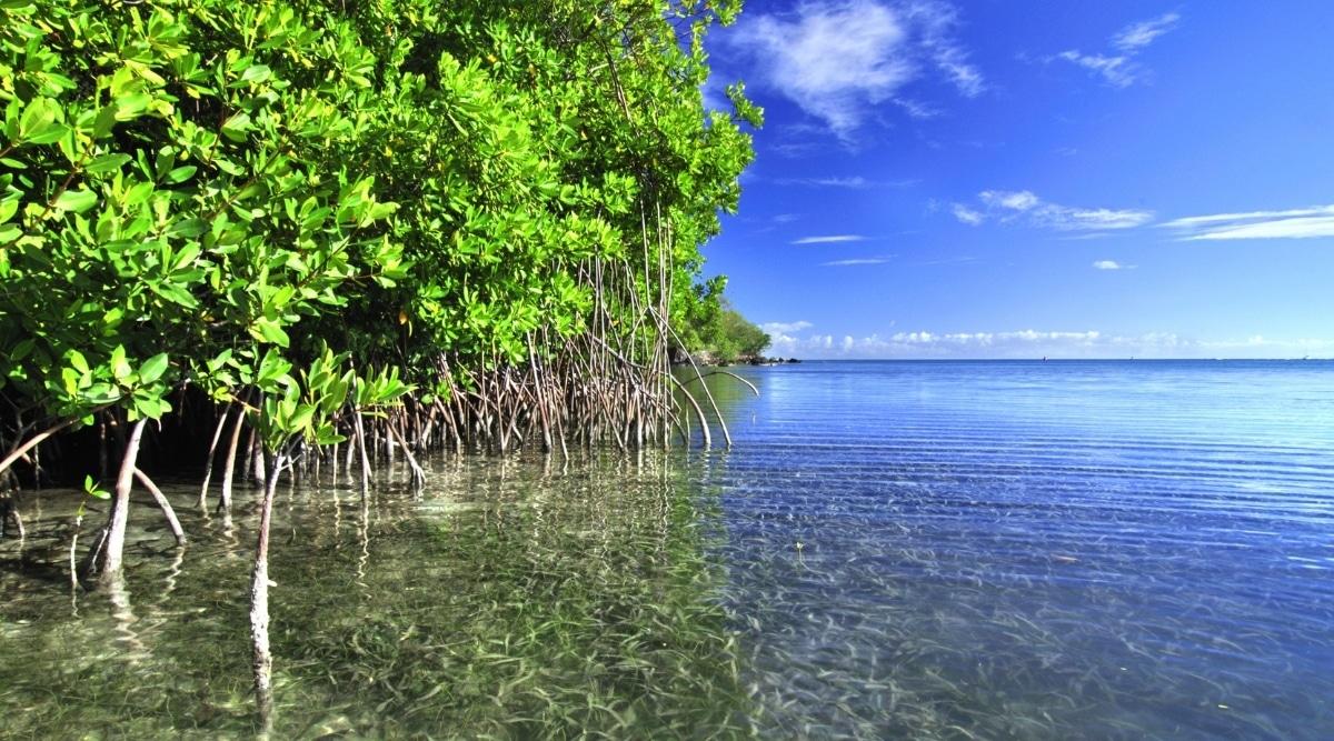 Coastal Mangrove Trees