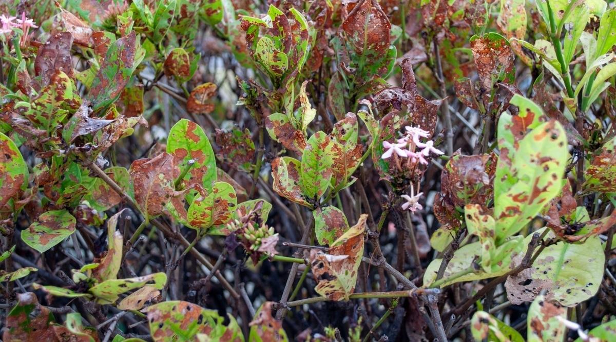 Diseased Plant