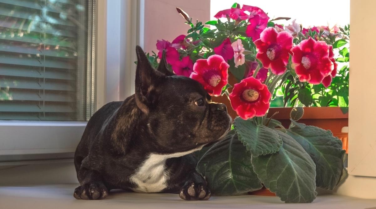 French Bulldog Smelling Red Gloxinias