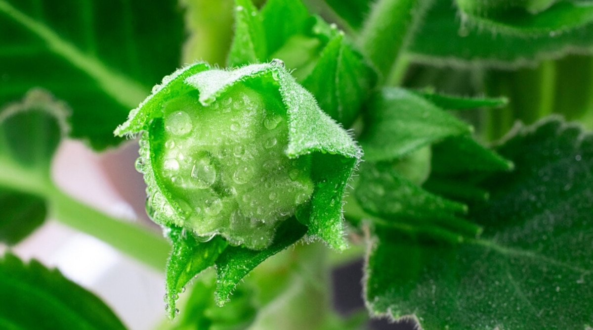 Fresh Bud With Water Droplets