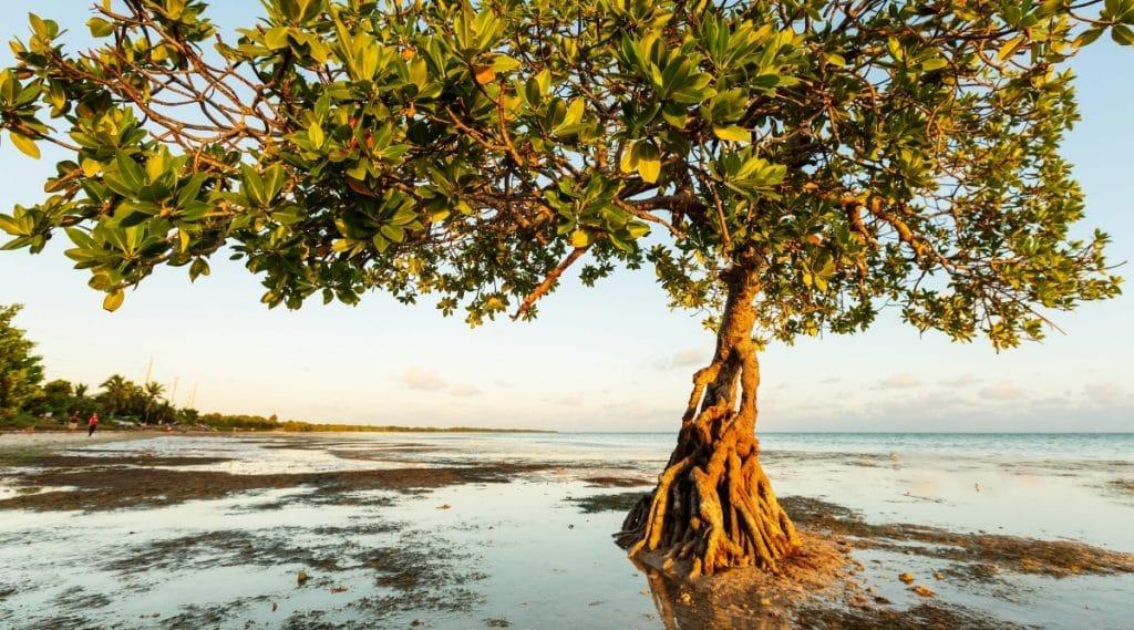 Mangroves on Florida Coastline