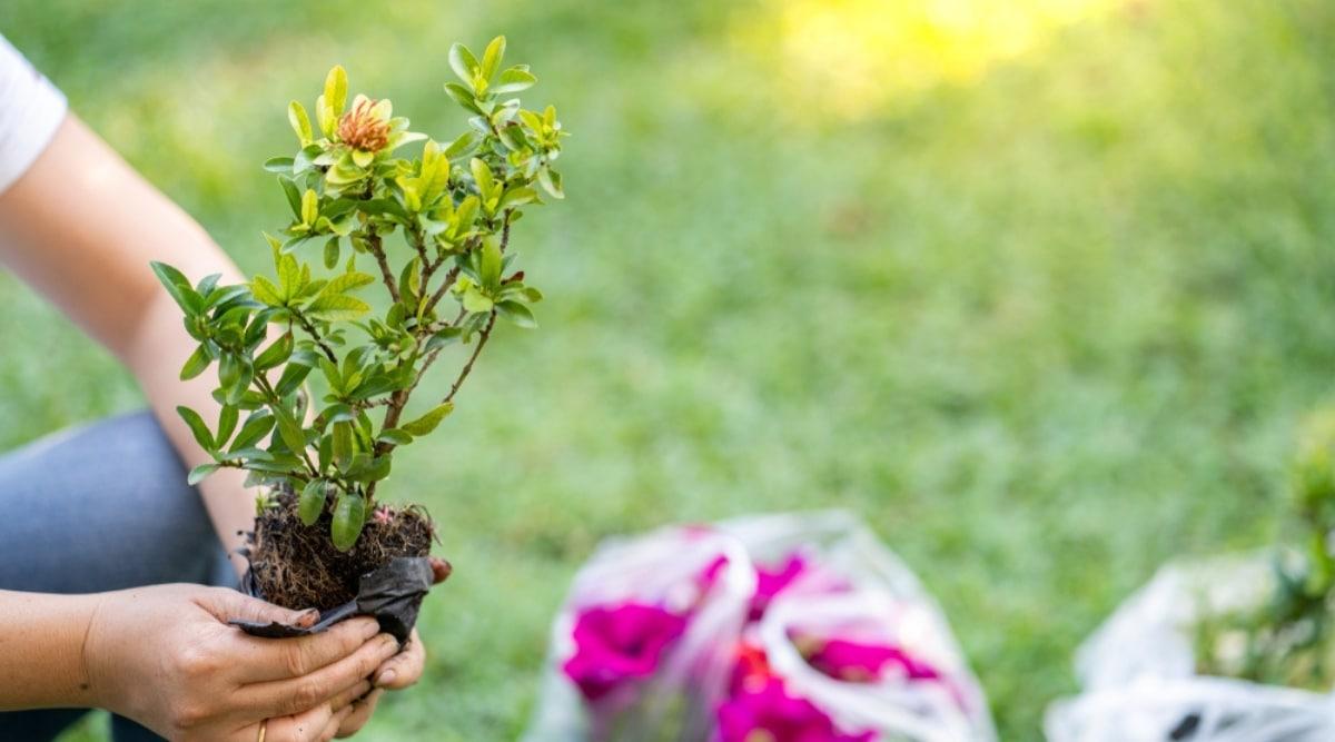 Person Planting a Bush