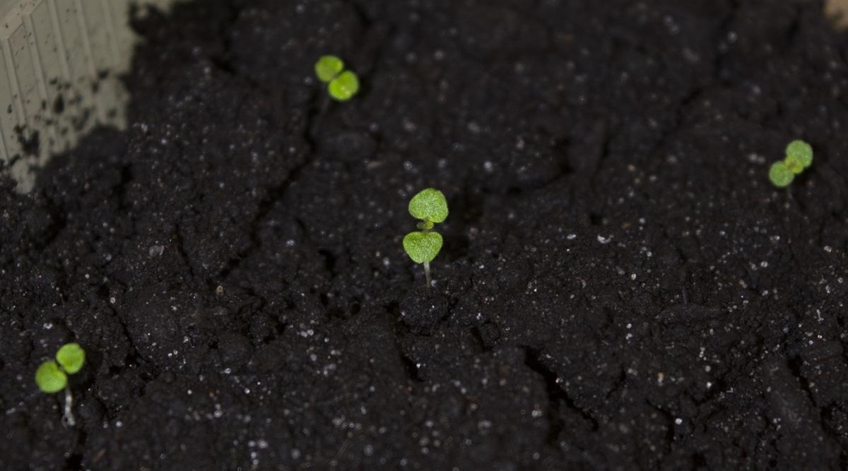 Tiny Seedlings Growing in Soil