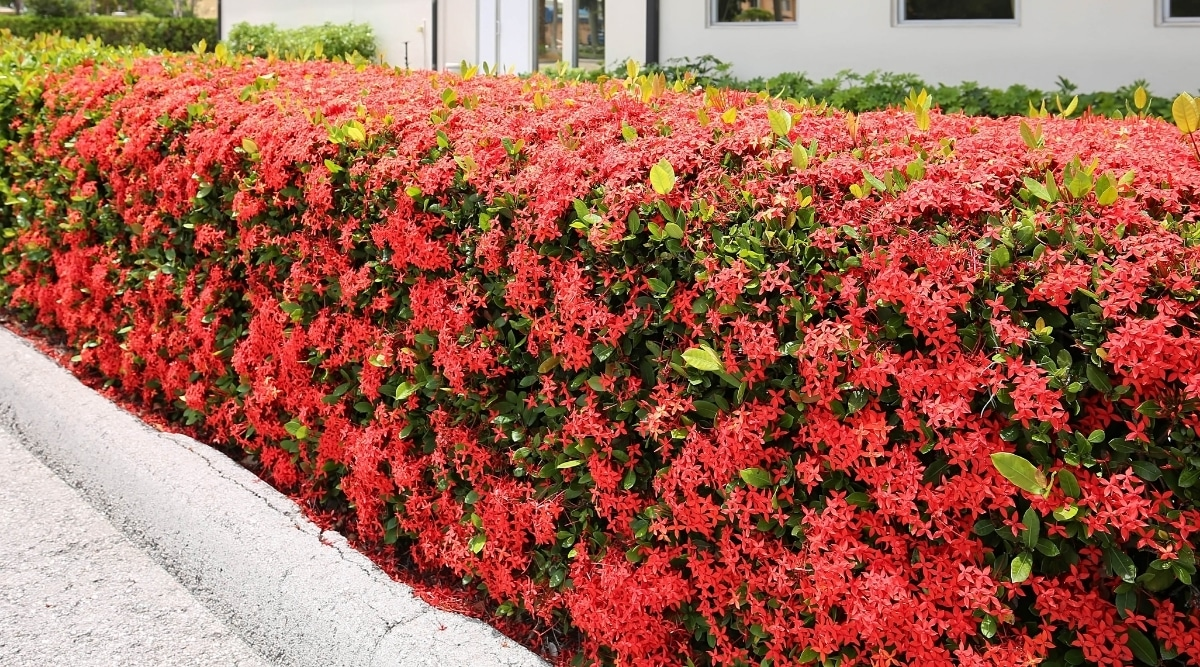 Hedge with Red Flowers