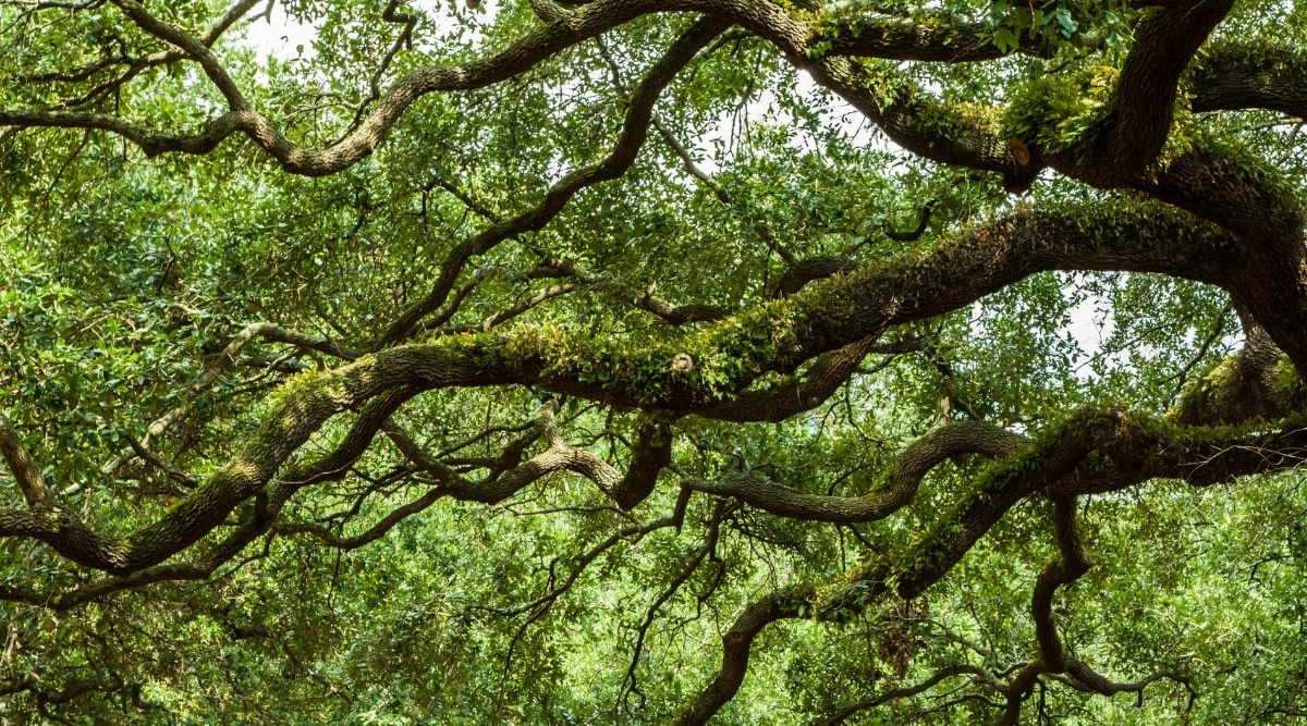 A Live Oak's Sprawling Branches