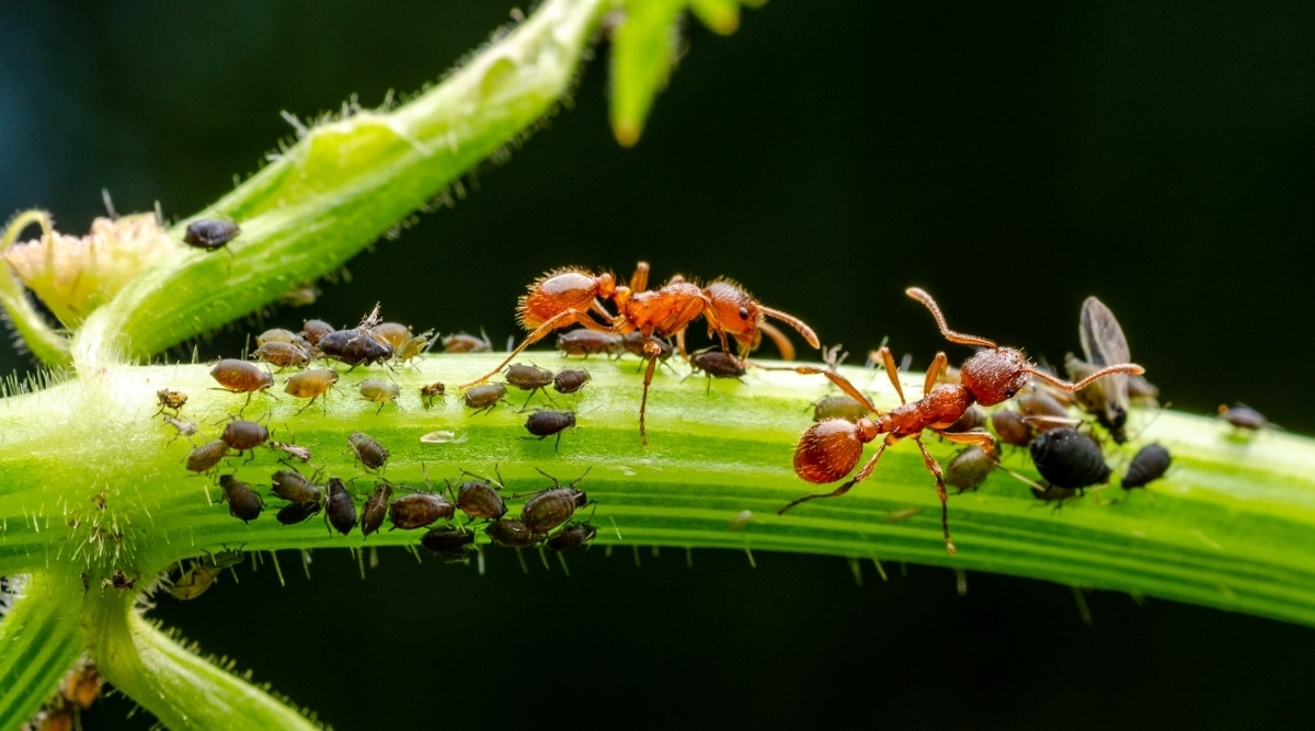 Ants Eating Aphids