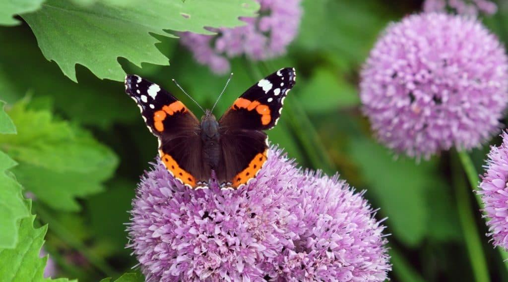Beautiful Butterfly on Purple Allium Blooms