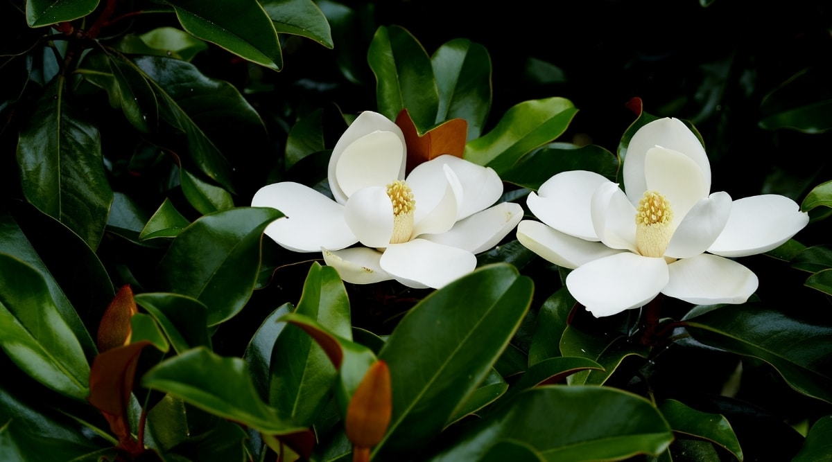 Beautiful Large and Soft White Flowers Growing on a Tree