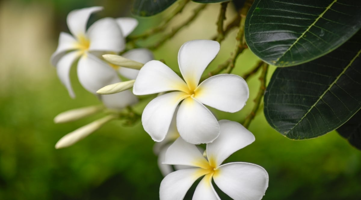 Beautiful White and Yellow Blossoms of a Plumeria Tree