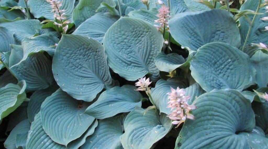 Blooming Blue Hosta Plant