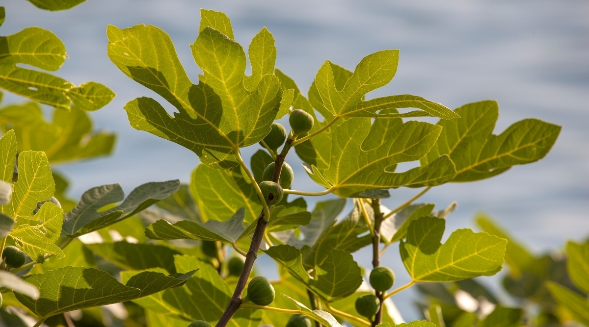 Branch of a Fig Tree With Growing Fruit