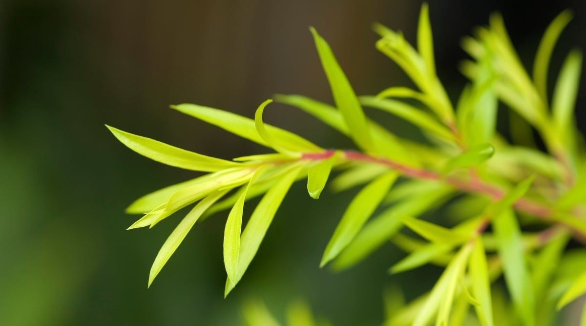 Branch of a Tea Tree