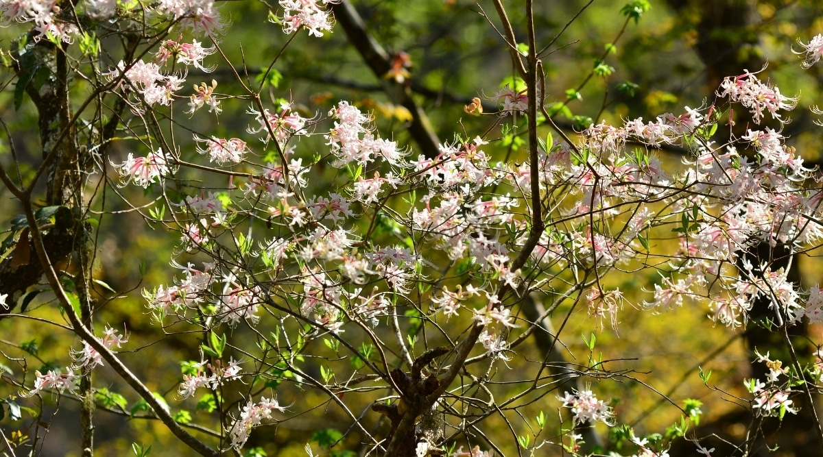 Branches With Light Pink Flowers