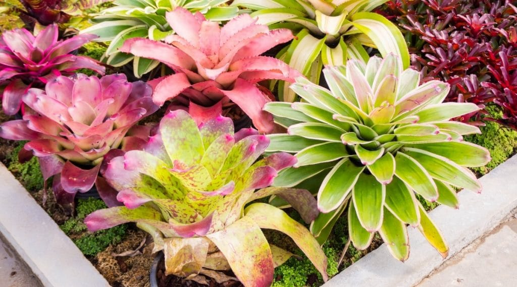 Bromeliad Garden Planted and Growing