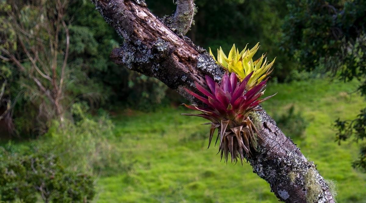 Bromeliad Plants Growing on a Tree