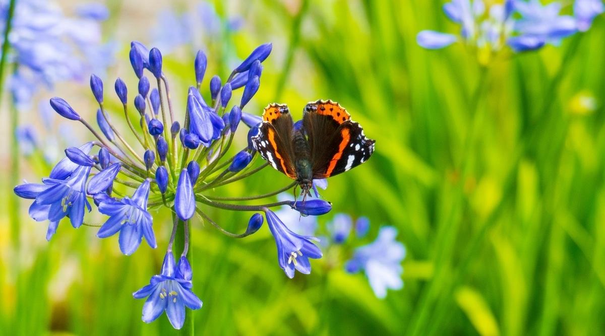 Butterflies Love Agapanthus Flowers