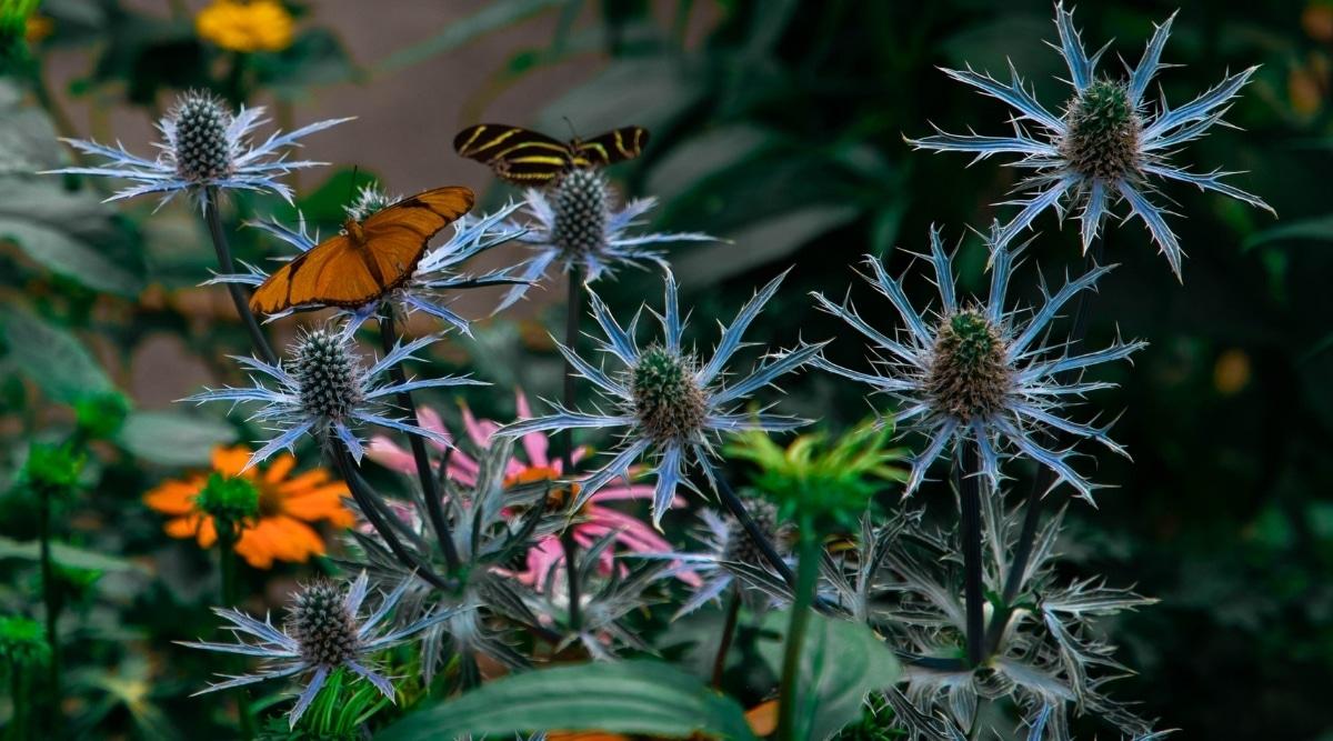 Butterflies on Sea Holly