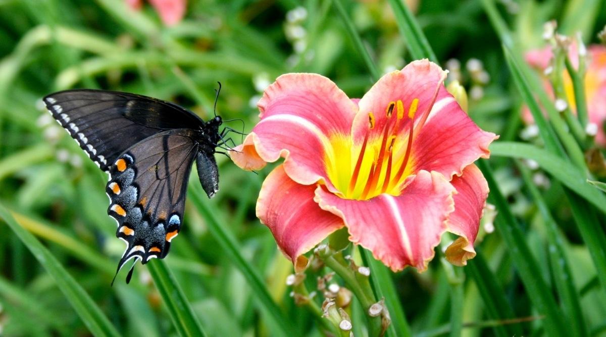Butterfly Landing on Pink Daylily