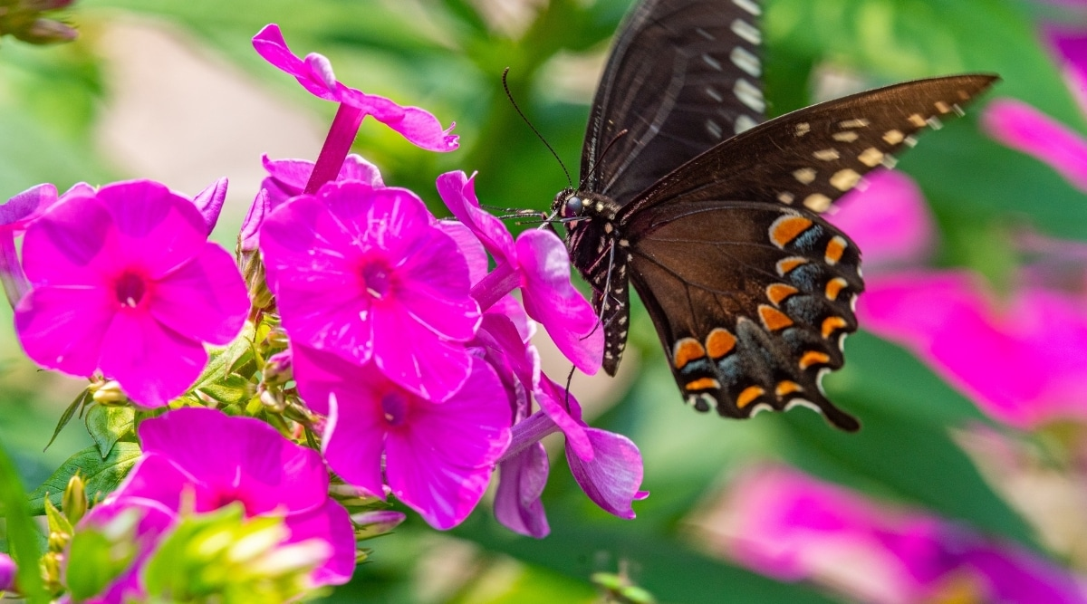 Butterfly With Bright Pink Phlox