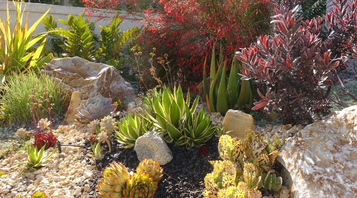Cactus Landscaping Front Yard