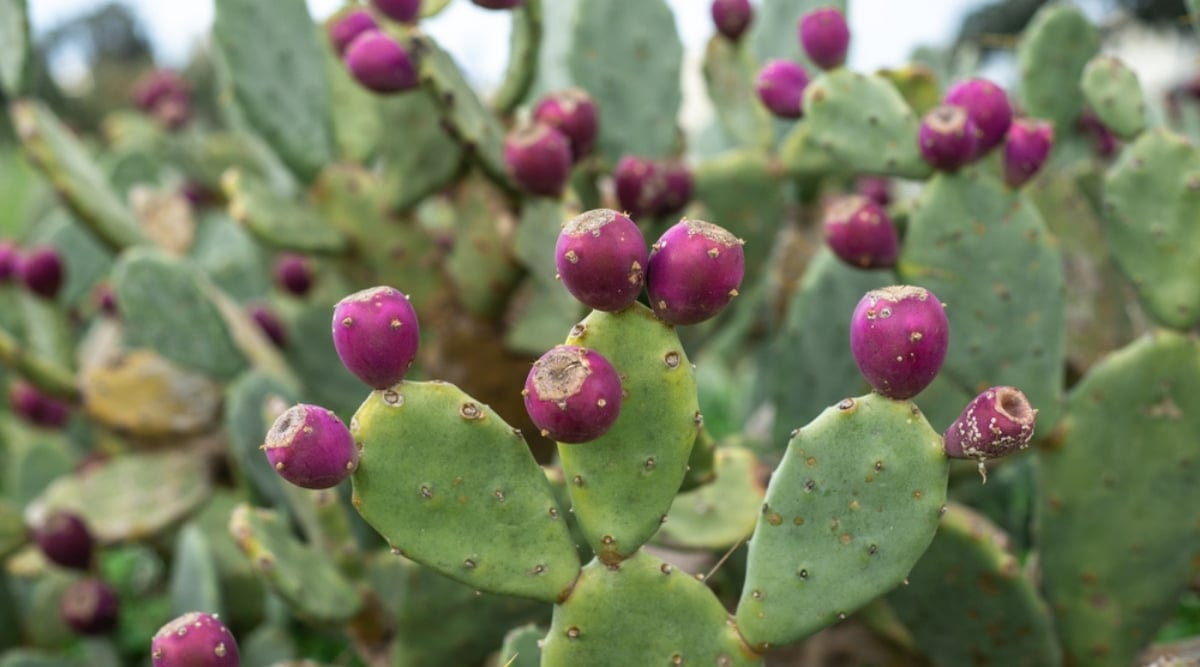 Cactus Plant With Purple Fruit