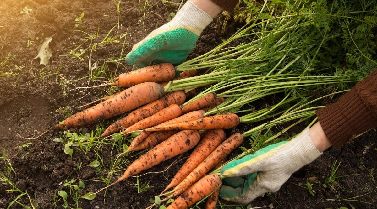 Carrots Grown in Garden