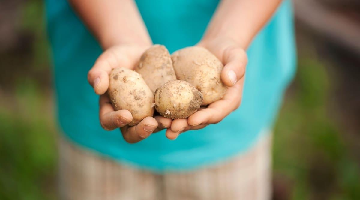 Child Holding Potatoes