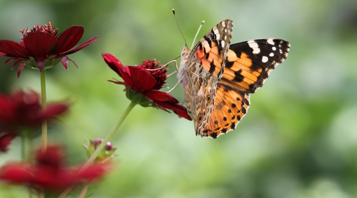 Chocolate Cosmos With Orange Butterfly