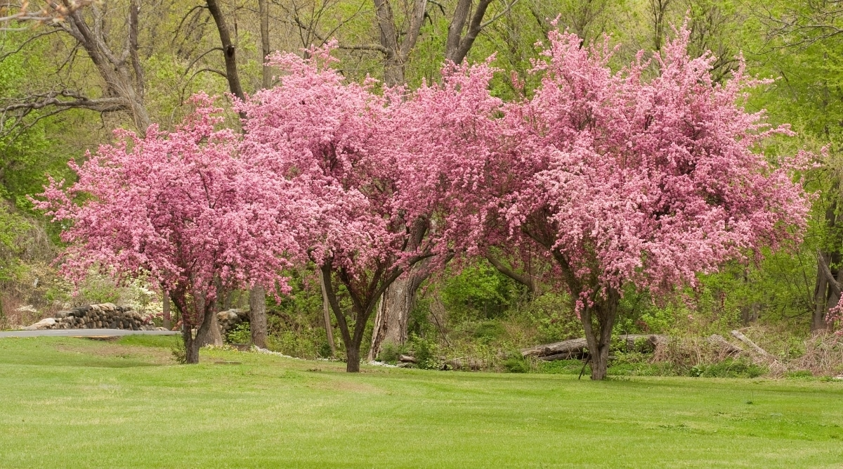 Colorful Crabapple Trees