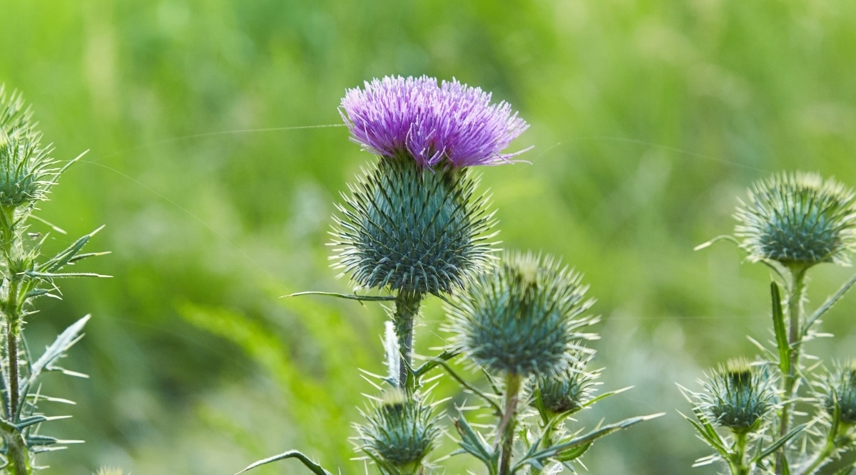 Common Thistle Outdoors