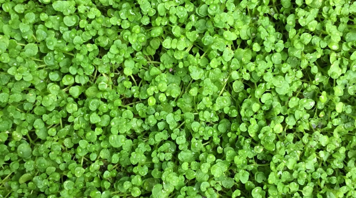 Corsican Mint Ground Cover