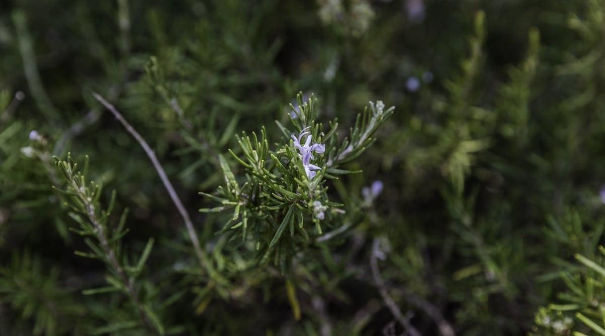 Creeping Rosemary Plant