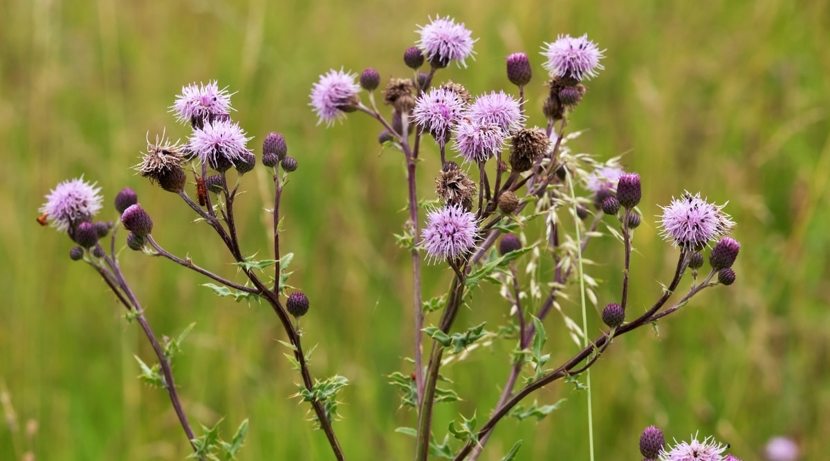 Creeping Thistle in Field