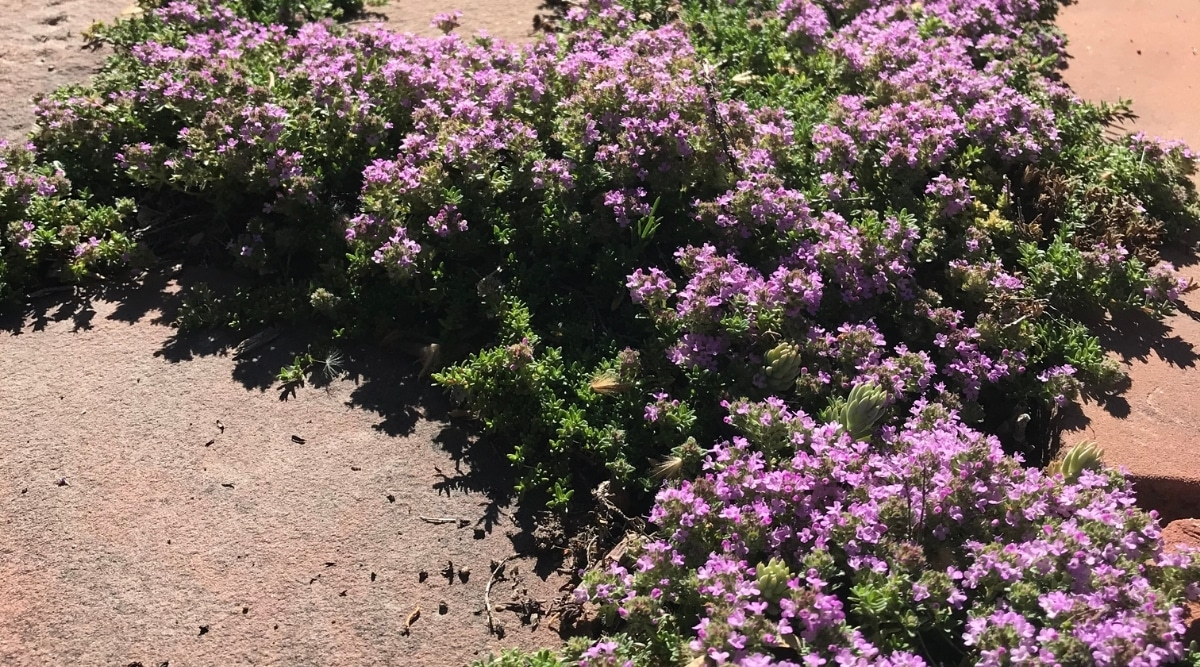 Creeping Thyme Landscaping
