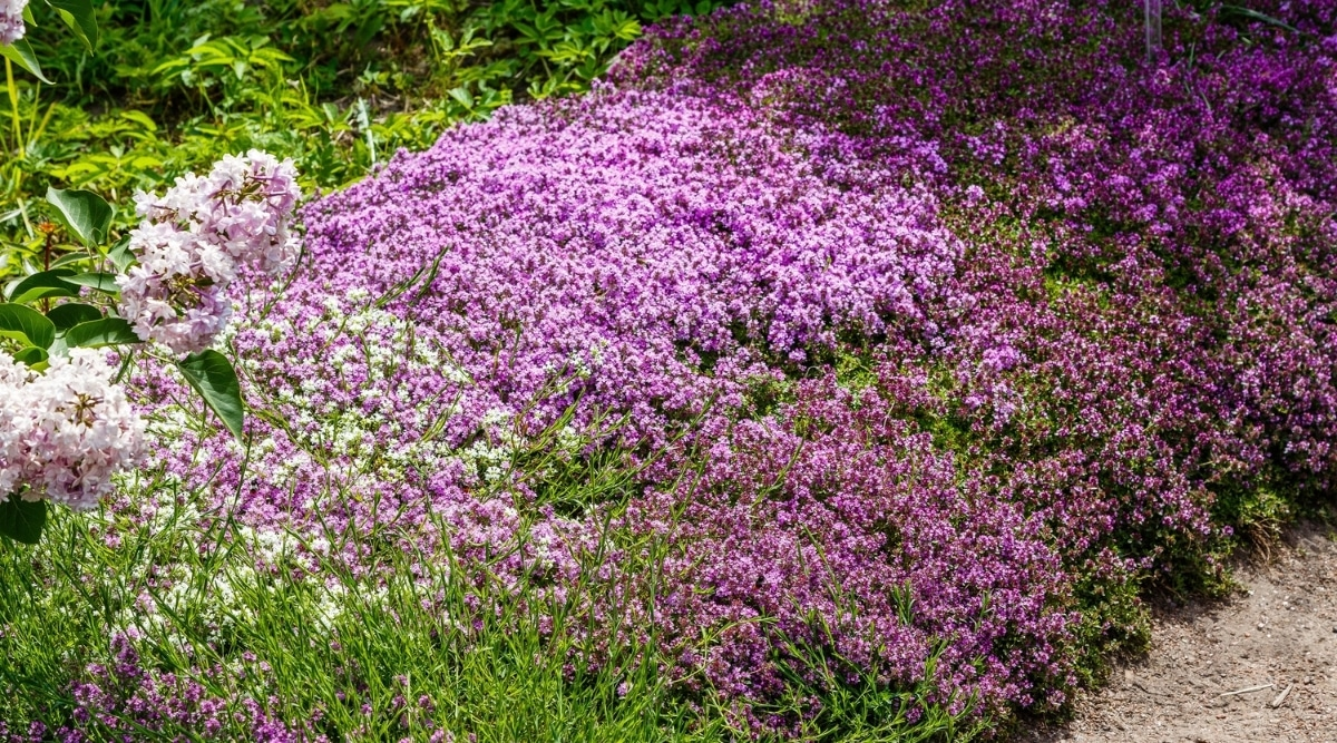 Creeping Thyme on Ground