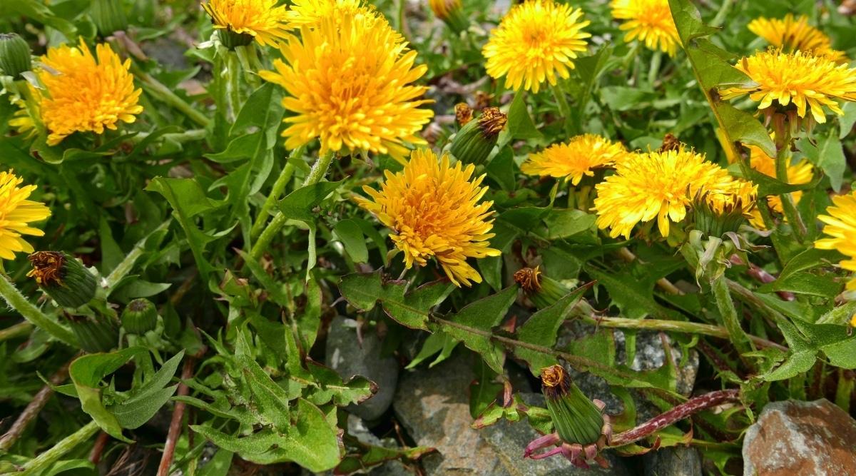 Dandelion in Garden