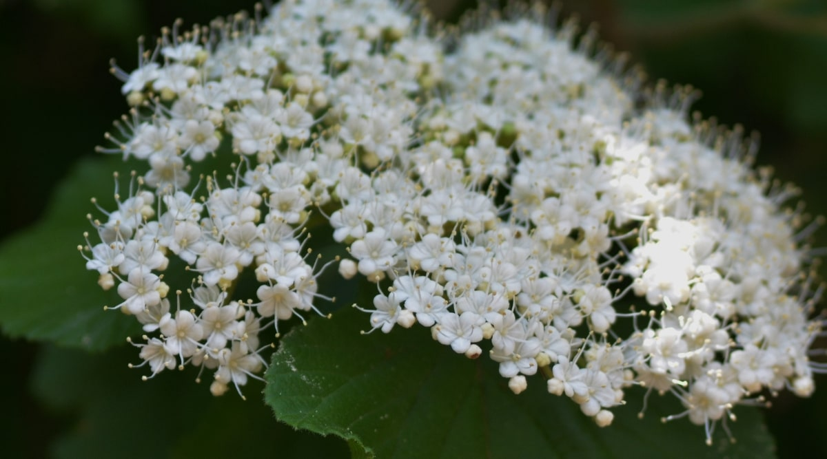Dark Green Bush With Tiny White Flowers