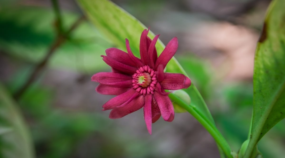 Dark Pink Flower With Olive Green Leaves