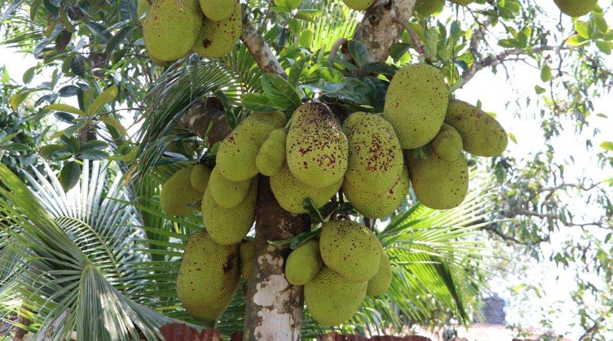 Diseased Tropical Fruit Tree