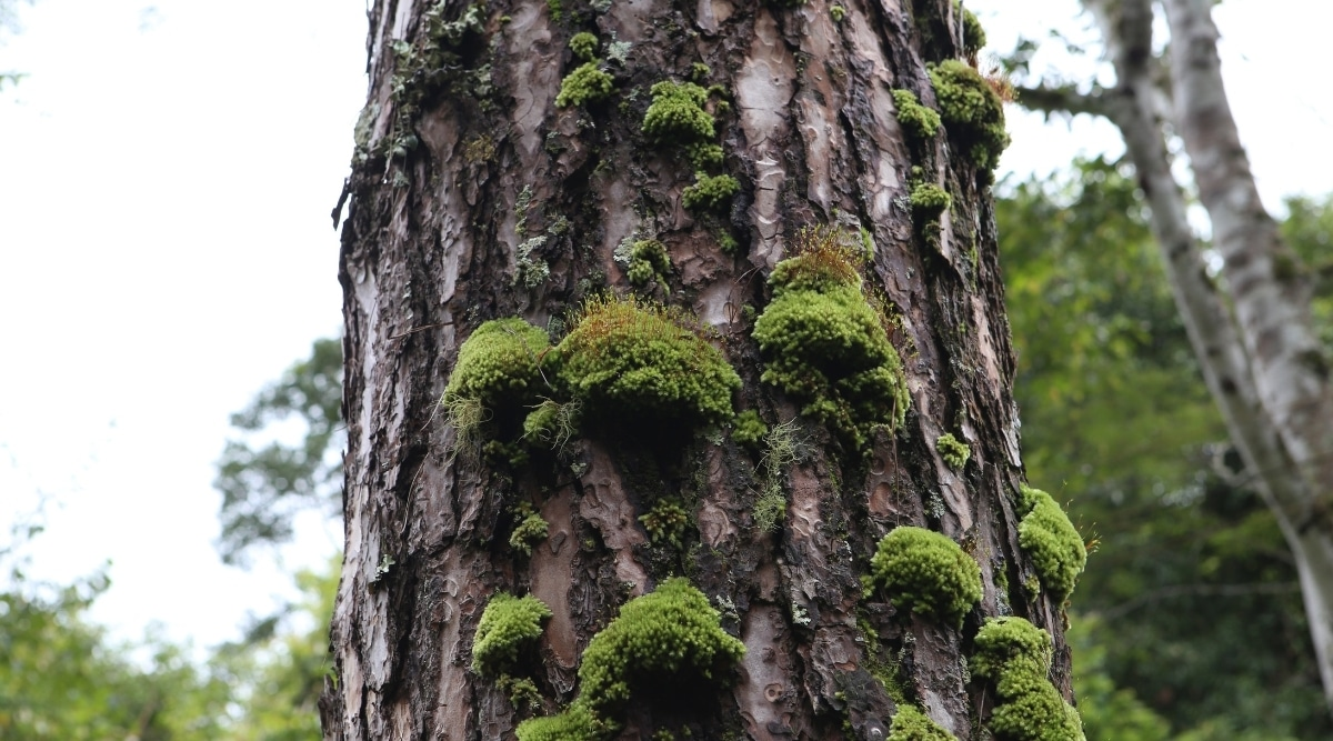 Epiphytic Liverwort on a Tree Trunk