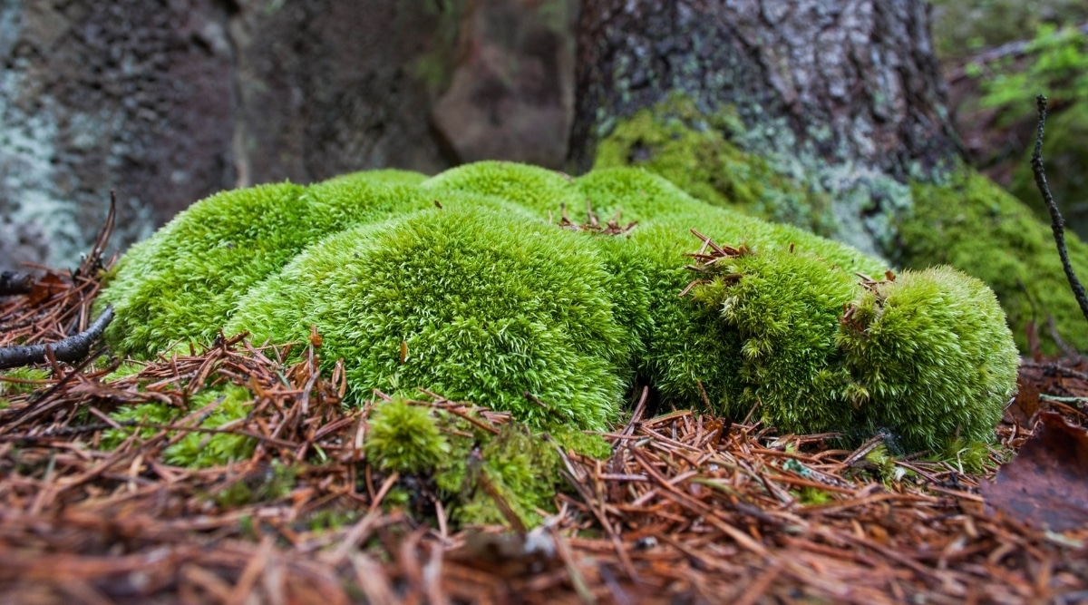 Epiphytic Moss on a Tree Trunk