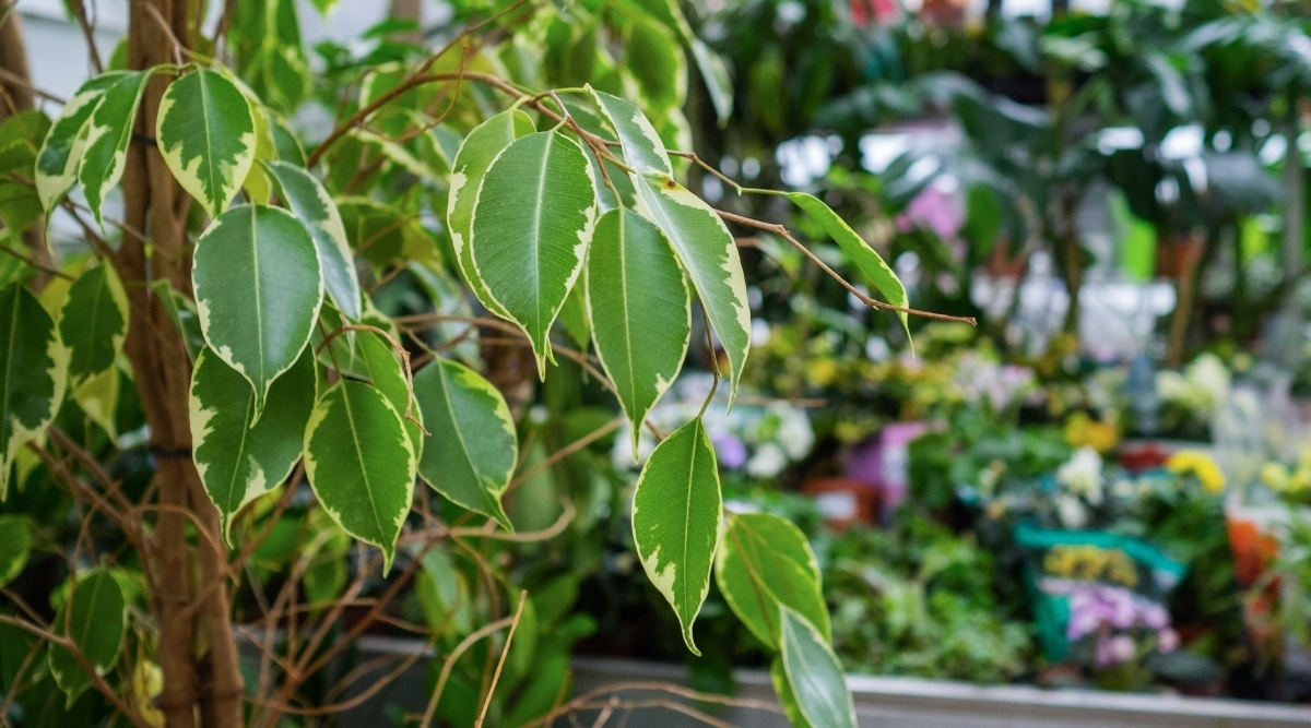 Ficus Plant Growing Outdoors