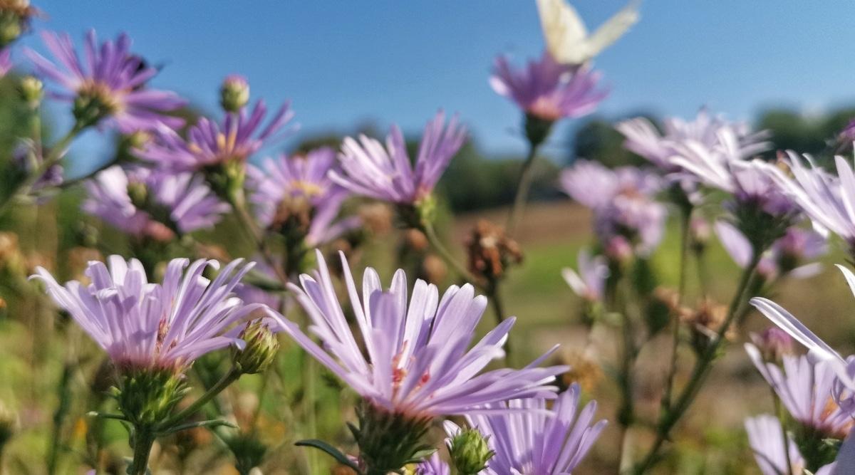 Field of Aster Flowers