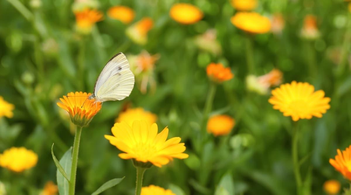 Field of Pot Marigolds