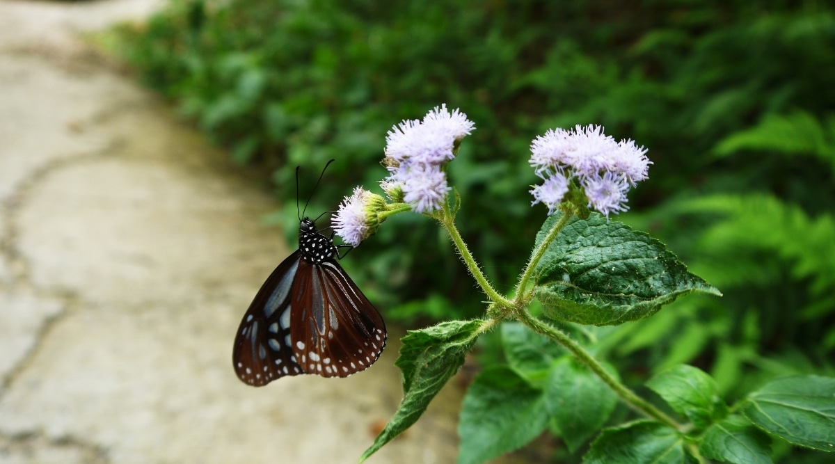 Floss Flower With Black Winged Insect