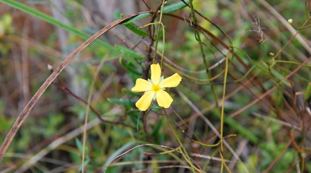 Flower in Florida Everglades